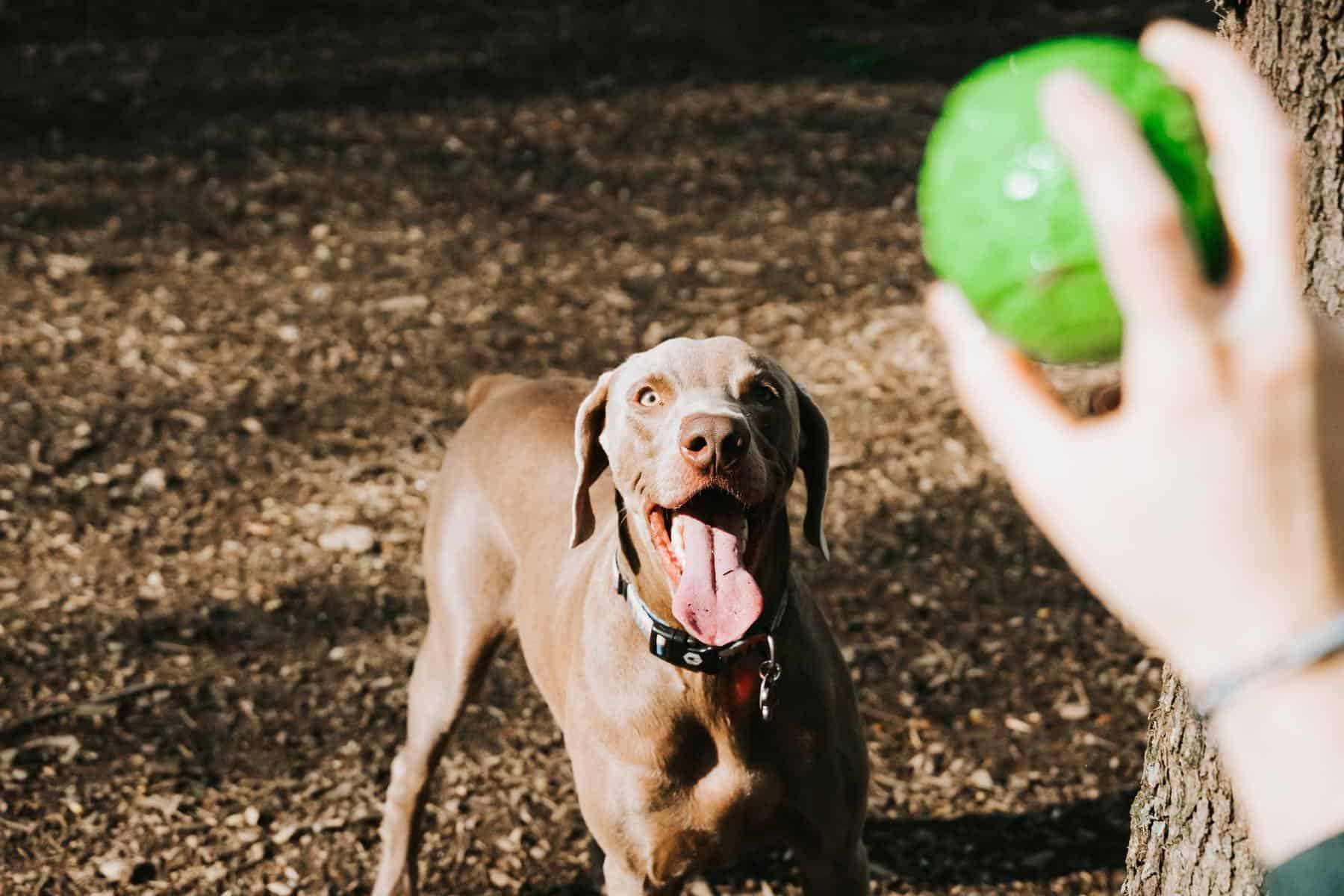 perro pelota  campo es