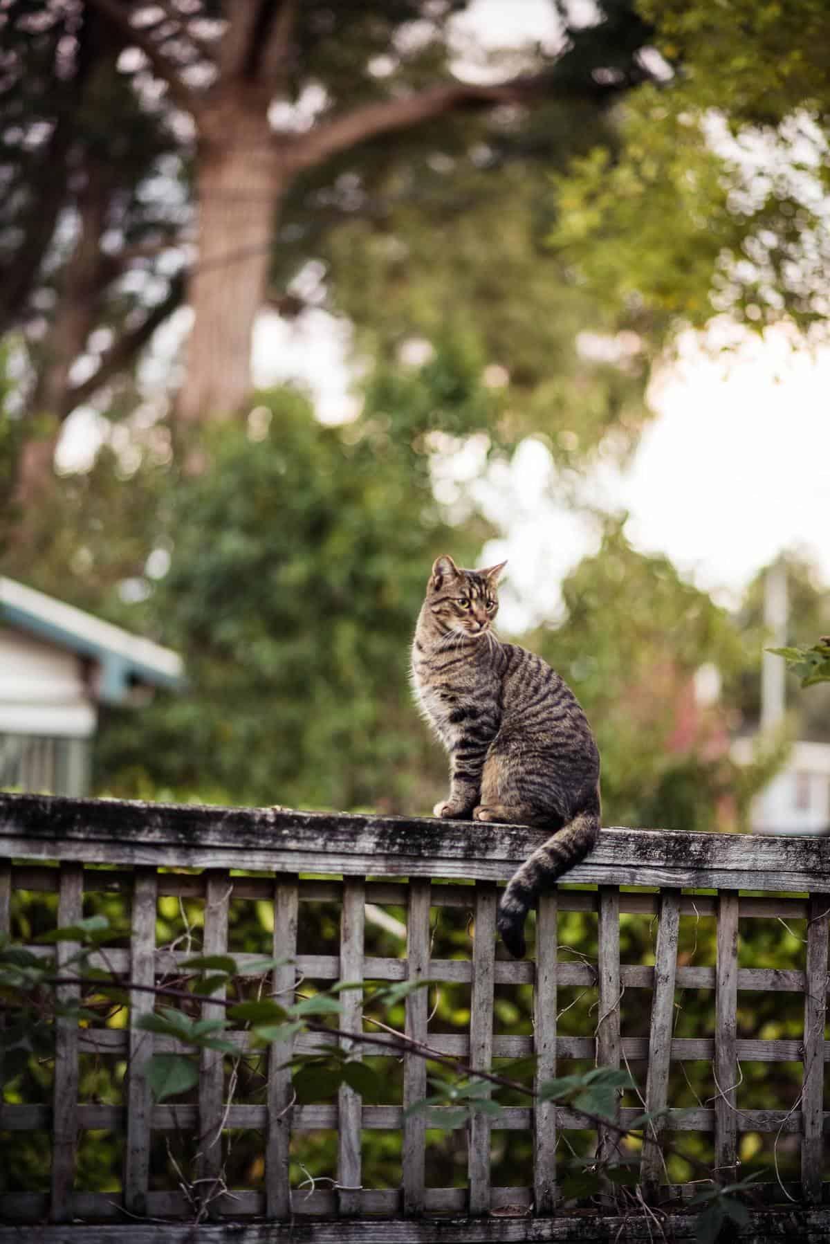 gato en valla es